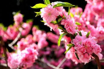 Gros plan sur des fleurs roses